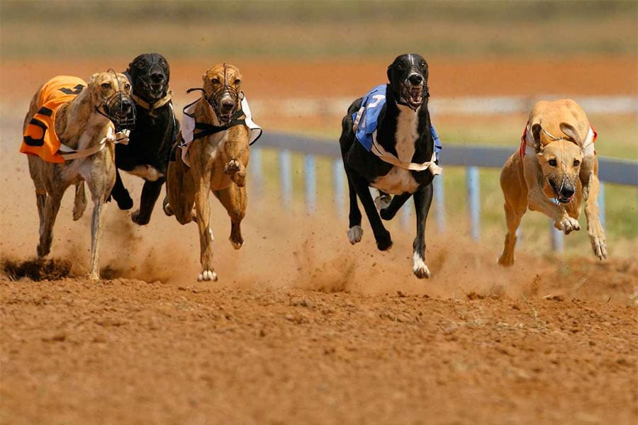 Greyhound racing news